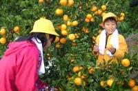 みかんの収穫体験の様子